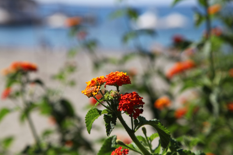 Marigold on beach of Kaloi Limenes
