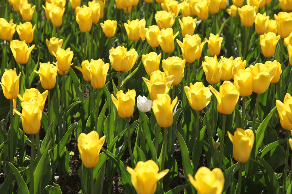 Pskov tulips of 17 May 2016