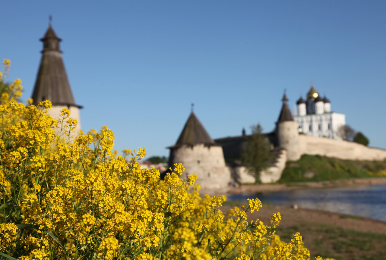 Yellow spring flowers and the Pskov Krom (or Kremlin) Псковский Кром - Кремль, with the  Высокая Башня – High Tower > Плоская Башня – Flat Tower >  Башня Кутекрома – Kutekroma Tower > and the Trinity Cathedral – Троицкий Собор