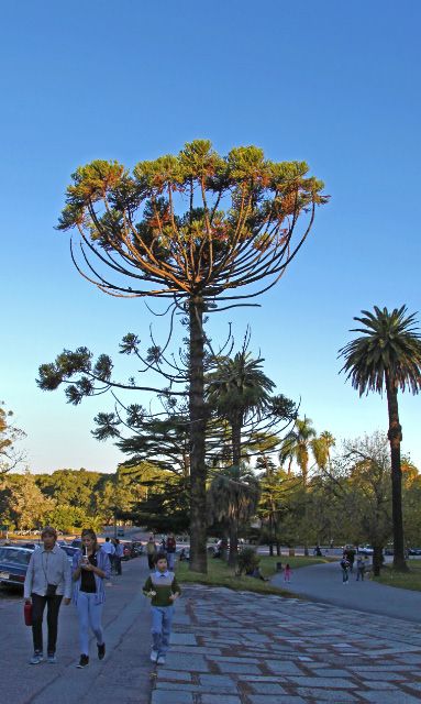 tree in Montevideo